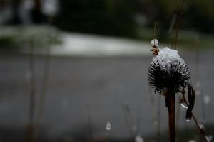 Snow on Echinacea by recklessfashion