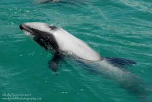 Hector's Dolphin surfacing by Shadow-and-Flame-86