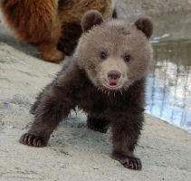 Baby bear stare  by BB-Bear