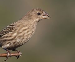 House Finch by photographyflower