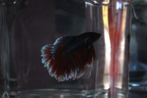 Betta Fish for export 11 by jerungan