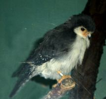 African Pygmy Falcon by DrachenVarg-stock