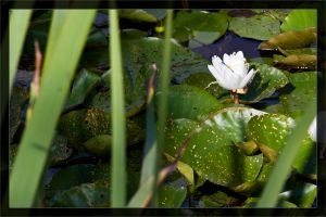 Water lily in the sun by deaconfrost78