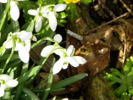 Snowdrop flowers and bee by Agatje