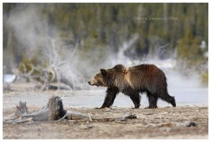 Geyser Grizzly by Nate-Zeman