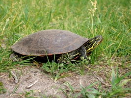 Painted Turtle 2 by OrganBoy