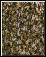 Buzzzing bees by jesse-botanical