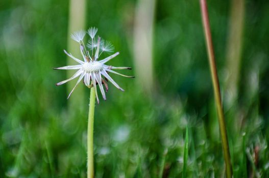Dandelion Almost Gone by laughlady99