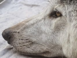 A Tired Old Wolf by Shortwinger
