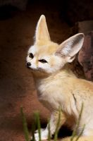 Fennec Fox by Punt1971