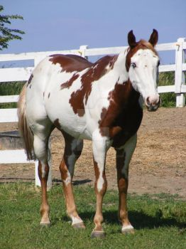 Paint Horse 39 by EquineStockImagery