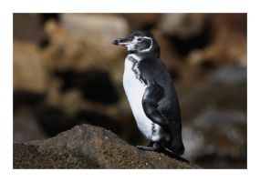 Galapagos Penguin by MadHatterVVVI