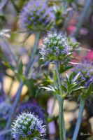 Blue Thistle by FallOut99