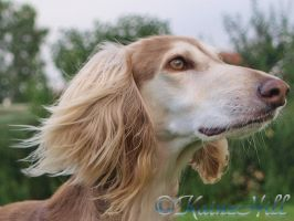 Fidell - Saluki by KaineHillPhotography