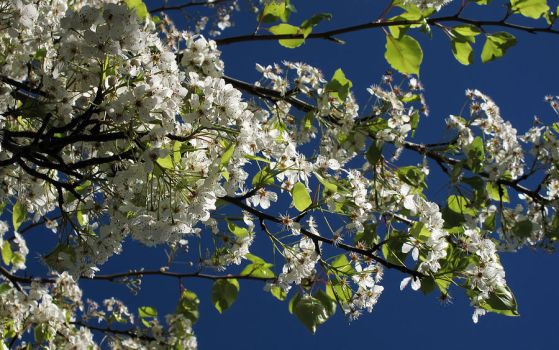 Tree Blossoms 4 by Leitmotif