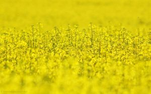 Rapeseed field by lori80