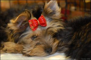yorkshire terrier by Penquanta-Yavannie