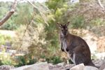 Wallaby by wilfriedF