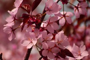 Cherry Blossom by Minyaloth