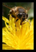 Hover Fly by Insect-Lovers-Club