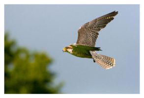 Lanner Falcon by Neutron2K