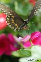 Black Swallowtail on Begonia by poetcrystaldawn
