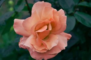 Rose with Curves by ValeryParker