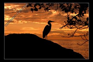Great Fire Heron by Meema