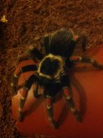 Mexican Flame Knee Tarantula (14) by emmys-stock