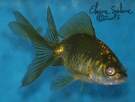 Stay Gold - The GOLD Goldfish - 3 by ElaineSeleneStock