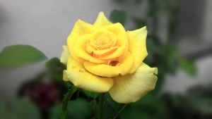 Yellow Rose by iWooder