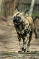 African Wild Dog by Drezdany