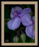 Mothers Day Flower by photoman356