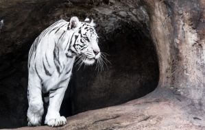 White Tigress IV by OrangeRoom