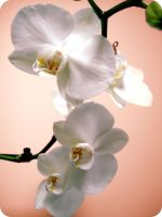 Orchid by cupidity6