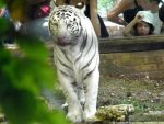 White tiger by Cansounofargentina