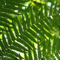 ferns by evelynzee