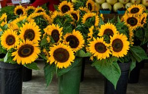 Sunflowers for Sale by muffet1
