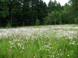 Field of Daisies by Whimseystock