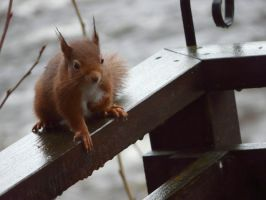 Red Squirrel by joet07
