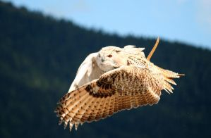 owl in flight 1 by Kristinaphoto