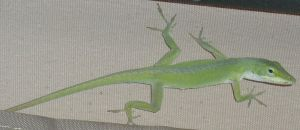 Anole 0588 by Aazari-Resources