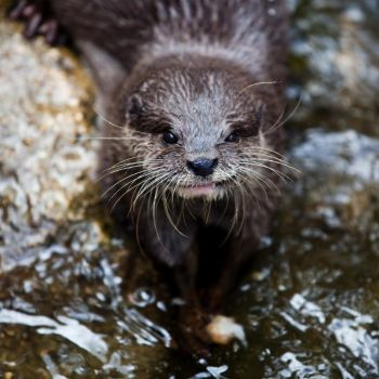Portrait of an Otter by ohmeow
