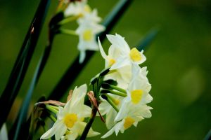 Jonquils... by Kick-Artist