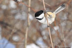 Black-capped Chickadee II by Chaotic-Chelly