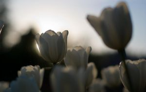 Tulip-4 by Henrikson