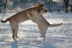 Winter labradors by Labroworld