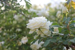 white roses by DramaQueenB