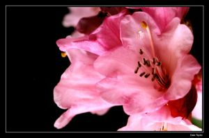 The Pink Flower by evilgeniuspirate