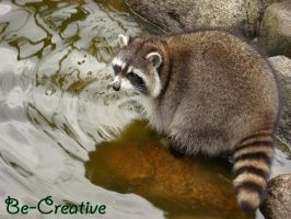 Racoon by Be-Creative
